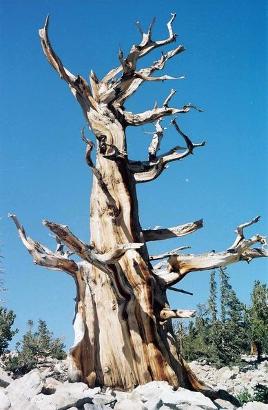 Pin Bristlecone de Great Basin