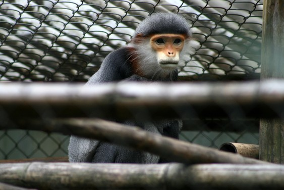 Singe dans le Endangered Primate Rescue Center